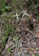 Caladenia bicalliata - Limestone Spider Orchid