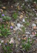 Caladenia brownii - Karri Spider Orchid