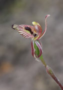 Caladenia cainsiana - Zebra Orchid