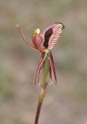 Caladenia cairnsiana - Zebra Orchid