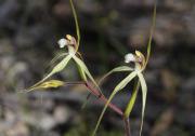 Caladenia uliginosa subsp. candicans - Northern Darting Spider Orchid