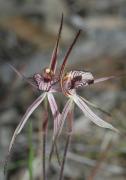 Caladenia x ericksoniae - Prisoner Orchid