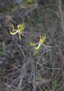 Caladenia falcata - Green Spider Orchid
