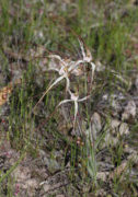 Caladenia fluvialis - Brookton Highway Spider Orchid