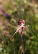 Caladenia georgii - Tuart Spider Orchid