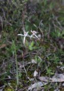 Caladenia hiemalis - Dwarf Common Spider Orchid