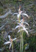 Caladenia hirta subsp. hirta - Sugar Candy Orchid