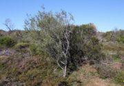 Caladenia hoffmanii x longicauda subsp. borealis - Hoffman Hybrid