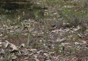 Caladenia hopperiana - Quindanning Spider Orchid