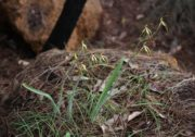 Caladenia longiclavata - Clubbed Spider Orchid