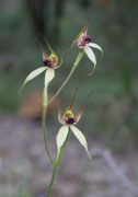 Caladenia macrostylis - Leaping Spider Orchid