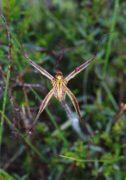 Caladenia caesarea subsp. maritima - Cape Spider Orchid