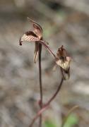 Caladenia pachychila - Dwarf Zebra Orchid