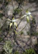 Caladenia paludosa - Swamp Spider Orchid