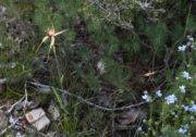Caladenia pectinata - King Spider Orchid