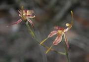 Caladenia plicata - Crab-lipped Spider Orchid