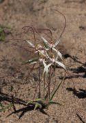 Caladenia pluvialis - Yuna Spider Orchid