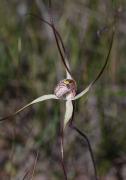 Caladenia polychroma - Joseph Spider Orchid