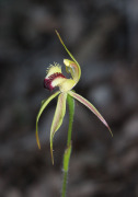 Caladenia rhomboideformis - Diamond Spider Orchid