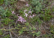 Caladenia hirta subsp. rosea - Pink Candy Orchid