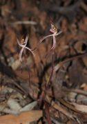 Caladenia sigmoidea - Sigmoid Spider Orchid