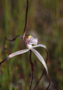 Caladenia pendens subsp. talbotii - Talbot's Spider Orchid