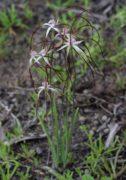 Caladenia sp.