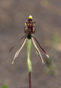 Caladenia barbarossa - Dragon Orchid