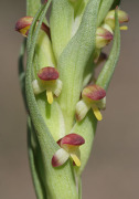Disa bracteata - South African Orchid
