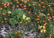 Caladenia flava - Cowslip