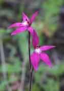 Caladenia latifolia - Pink Fairy Orchid