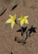 Caladenia flava subsp. maculata - Kalbarri Cowslip