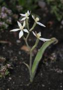 Caladenia marginata - White Fairy Orchid