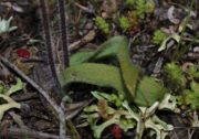 Caladenia mesocera - Narrow-lipped Dragon Orchid