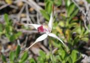 Caladenia nivalis - Exotic Spider Orchid