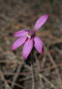 Caladenia reptans - Dwarf Pink Fairy