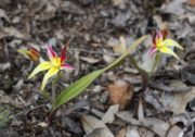 Caladenia flava subsp. 'late red' - Brookton Highway Cowslip