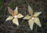Caladenia x spectabilis - Cowslip hybrid