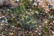Caladenia xantha - Primrose Spider Orchid