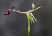 Drakaea isolata - Lonely Hammer Orchid