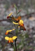 Diuris brumalis - Winter Donkey Orchid