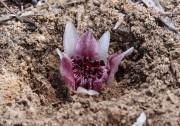 Rhizanthella gardneri - Underground Orchid