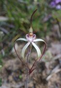 Caladenia nobilis - Noble Spider Orchid