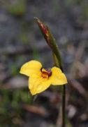 Diuris purdiei - Purdie's Donkey Orchid