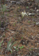 Caladenia denticulata - Yellow Spider Orchid