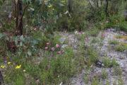 Caladenia interjacens - Walpole Spider Orchid