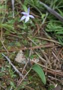 Cyanicula amplexans - Dainty Blue Orchid