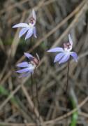 Cyanicula aperta - Western Tiny Blue Orchid