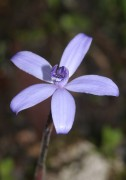 Canicula sericea - Silky Blue Orchid