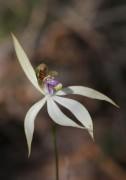 Praecoxanthus aphyllus - Leafless Orchid